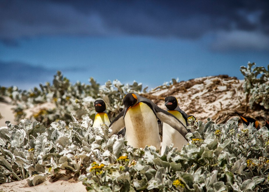 King penguins at Volunteer Point, Falkland Islands. These penguins were waddling down to the sea ...