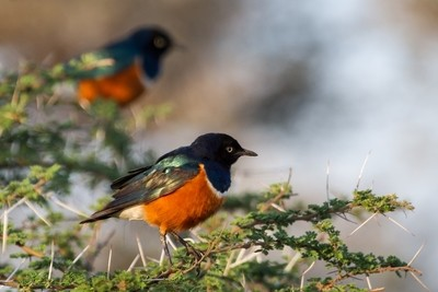 Superb Starling and thorns!
