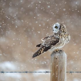 A Short Eared Owl takes a rest brake from hunting on a fence pole in a snow storm.