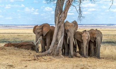 Resting elephants