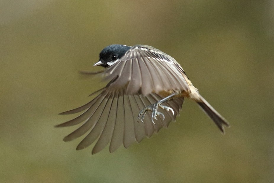 Lovely little bird which at this time of the year feeds off your hand through winter. They are so...