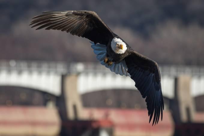 Mississippi Bald Eagle by tomtarner - Just Eagles Photo Contest