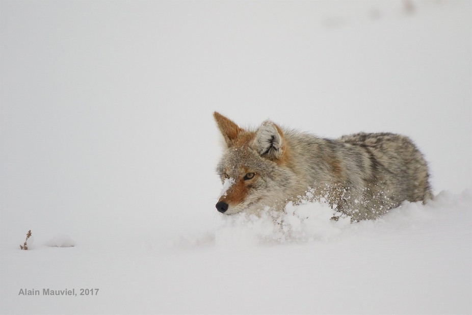 Winter in the Yellowstone NP. Coyotes are almost oblivious to visitors and can be seen at really ...