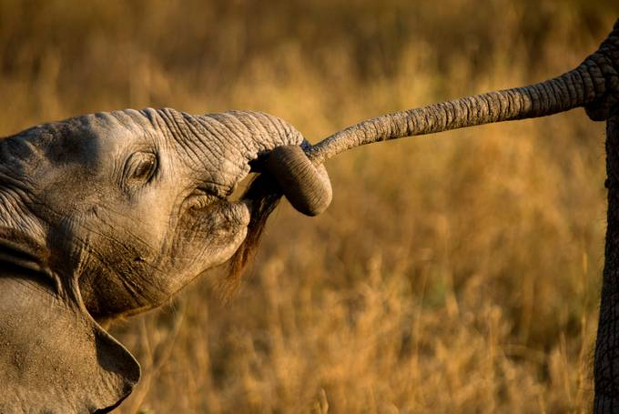 Elephant infant holding tail by GPetrie - Explore Africa Photo Contest