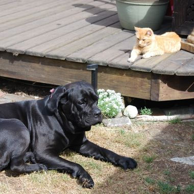 July 25, 2015 Peache an Italian Mastiff, Cane Corso & Beans our lovely orange Tabby - Parksville, Vancouver Island