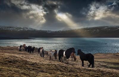 Icelandic_Horses_Golden_Circle