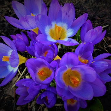 Beautiful blue crocuses sprouting through first signs of Spring in my Garden