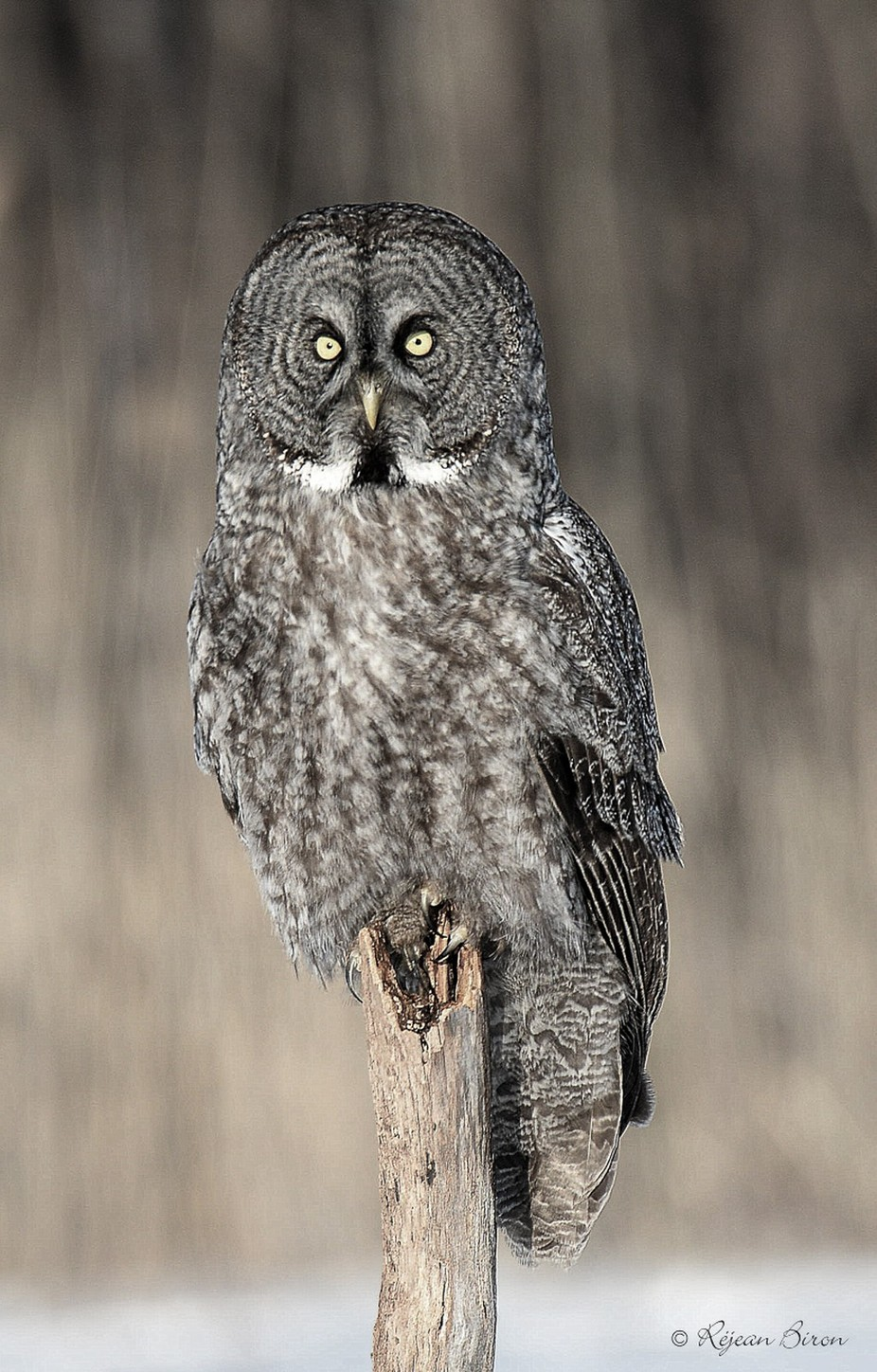 Great Gray Owl by RejeanBiron - Beautiful Owls Photo Contest