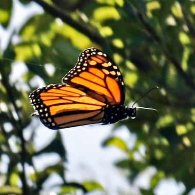 Monarch Flyby