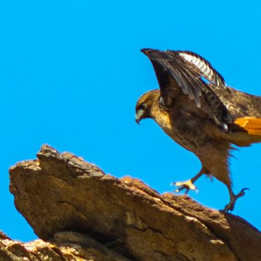 A red tail hawk touching down on a ridge in Murray Canyon, near Palm Springs, CA