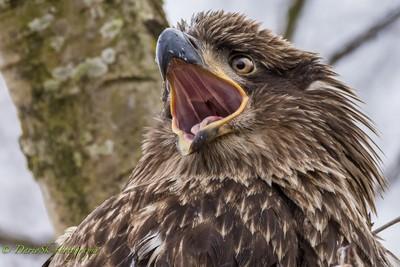 Juvenile bald eagle scream