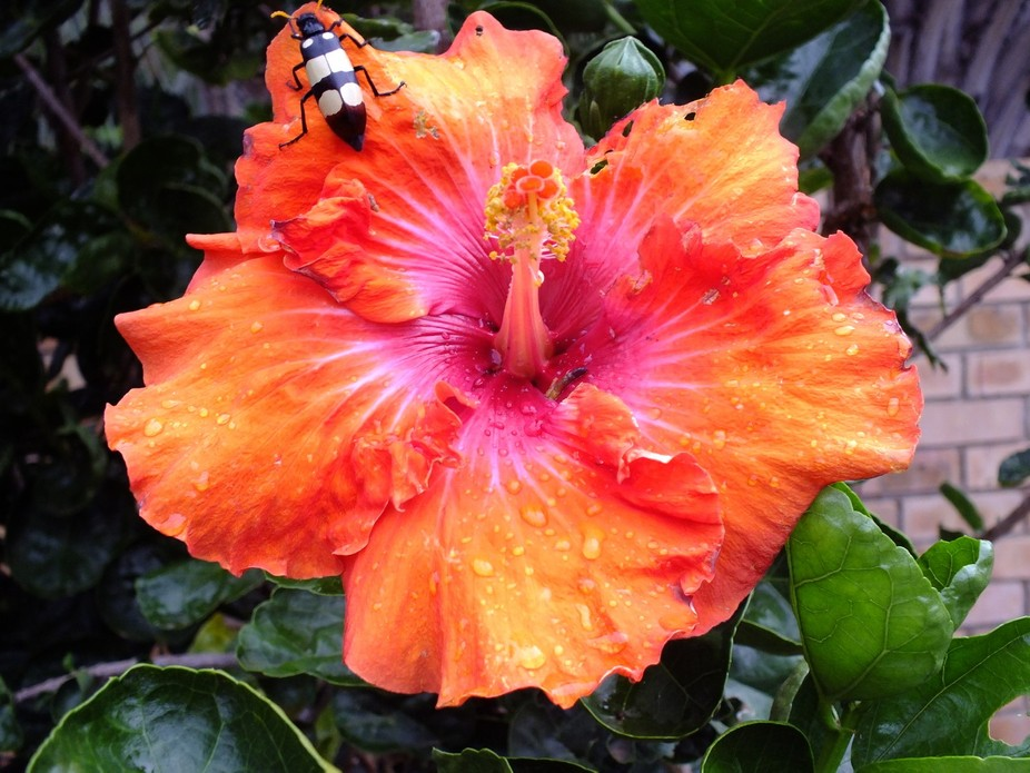Hibiscus with raindrops and bug on it