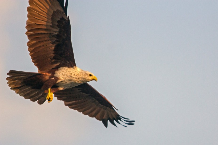 Another glance of flying Brahminy kite