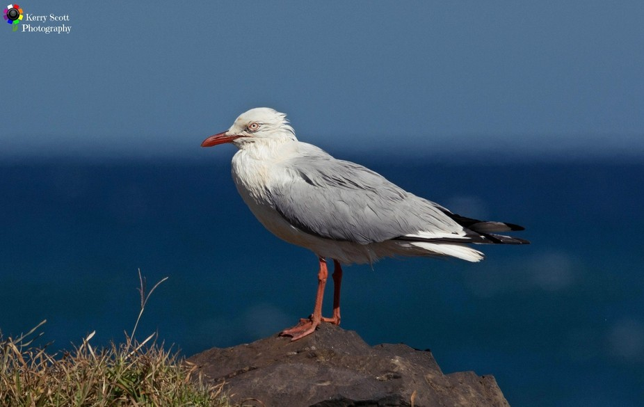 A Seagull wet by huge swell