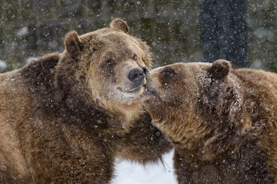 Grizzle Kiss