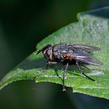 European blowfly