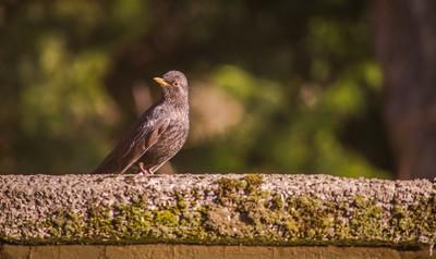 Back Yard Visitors (Female Blackbird).