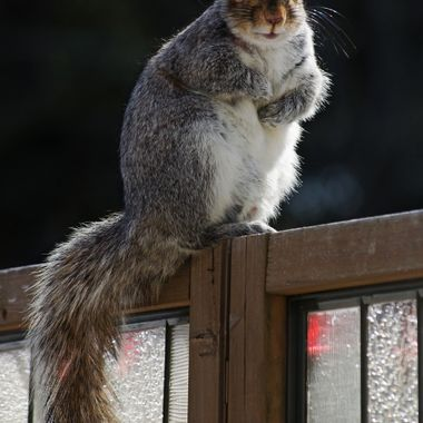 A grey squirrel on a wooden privacy screen.