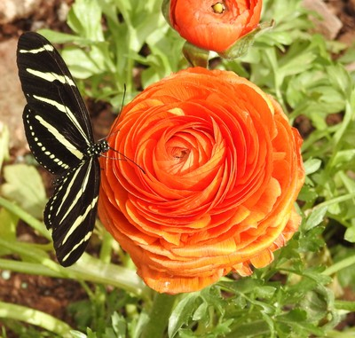 Zebra Tail Butterfly