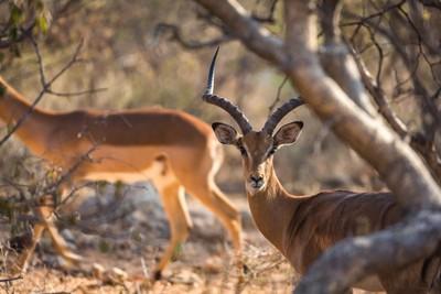 Impala Male - RukiyaImpala Male - Rukiya - Rukiya Camp, Safari 7.2016, South Africa(JHB19297