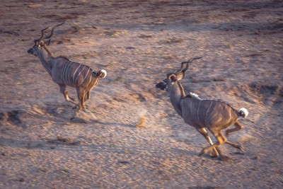 Kudu Running, Tangala