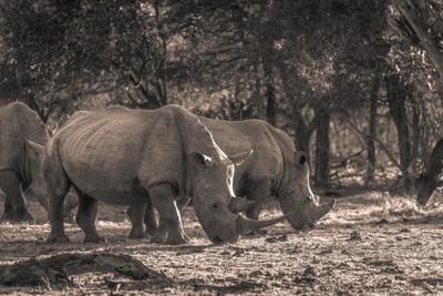 Pair oh Rhino - Tangala(JHB13686