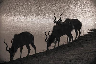 Kudu Shadows - Tangala(JHB12759