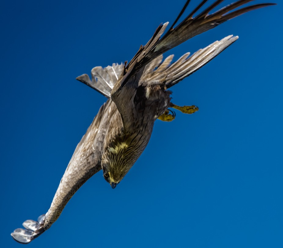 Black kite diving like a Stuka (dive bomber) in Haute Savoie last spring