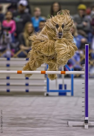Afghan hound working the agility ring