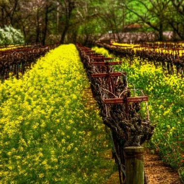 Mustard and Vines