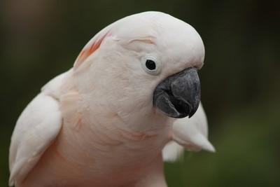 Pure White Cockatoo