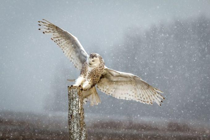 Snowy Owl by Dano351 - Beautiful Owls Photo Contest