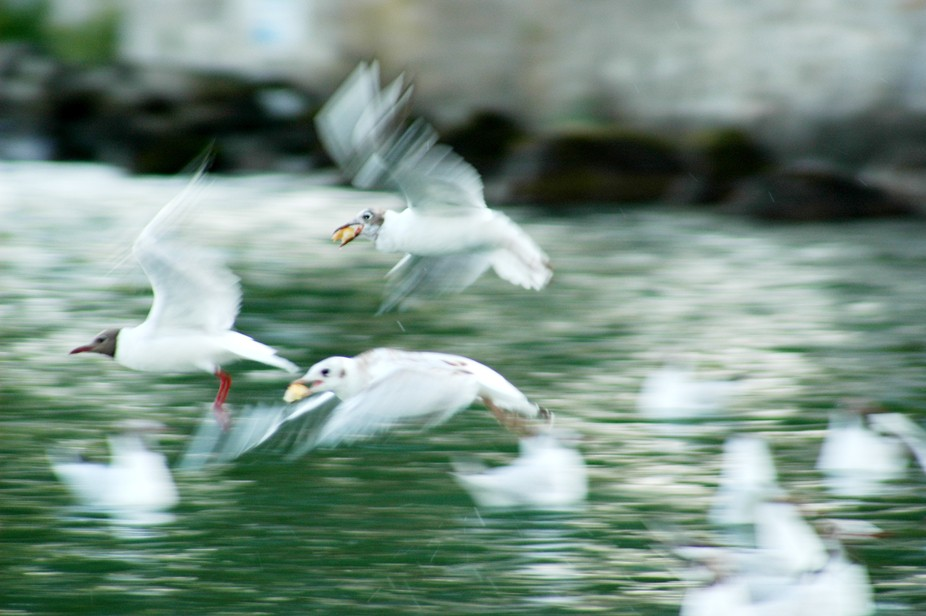 Gulls in Lake Léman, Geneva