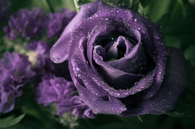 Purple rose by sabrinatheroux - Macro Water Drops Photo Contest