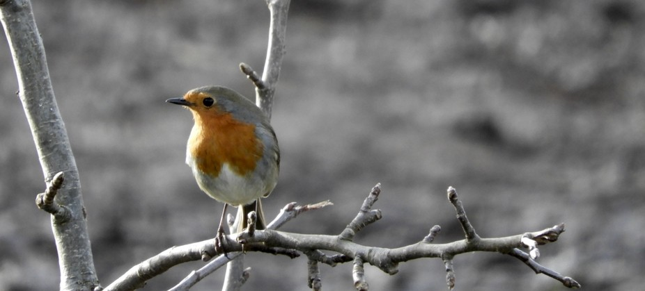 Robins are a passion of mine, this one visits me daily