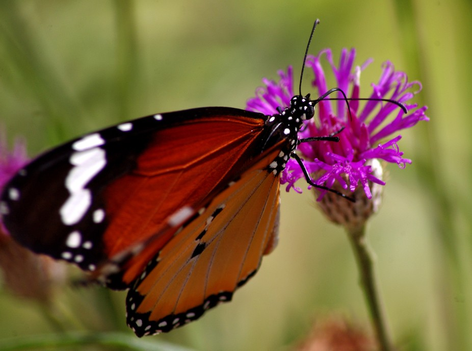 Photographing butterflies takes patience especially if you don't bait and just wait for ...