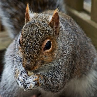 A close-up of a grey squirrel eating a peanut.