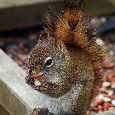 A close-up of a red squirrel eating a peanut.