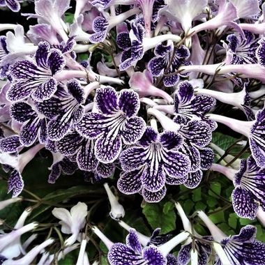 Streptocarpus Polka Dot Purple one of the most stunning varieties of Streptocarpus