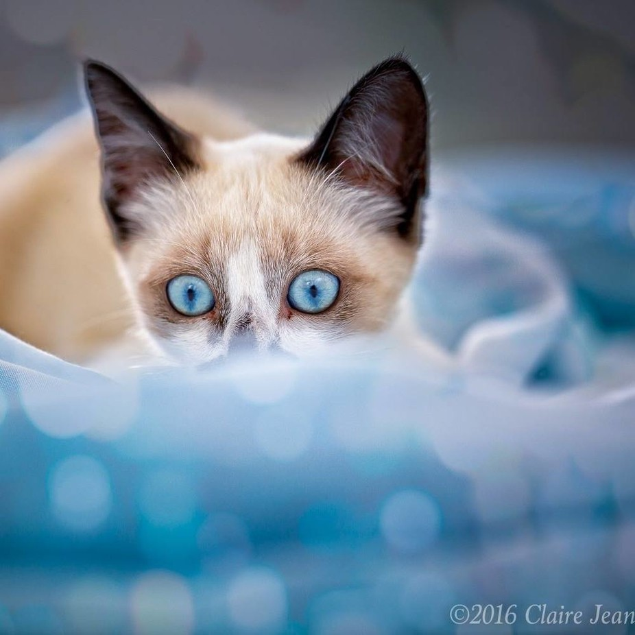 blues by ClaireJean - Cute Kittens Photo Contest