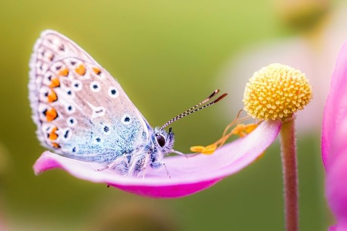 little fluffy butterfly by riankrenzer - Pink Photo Contest