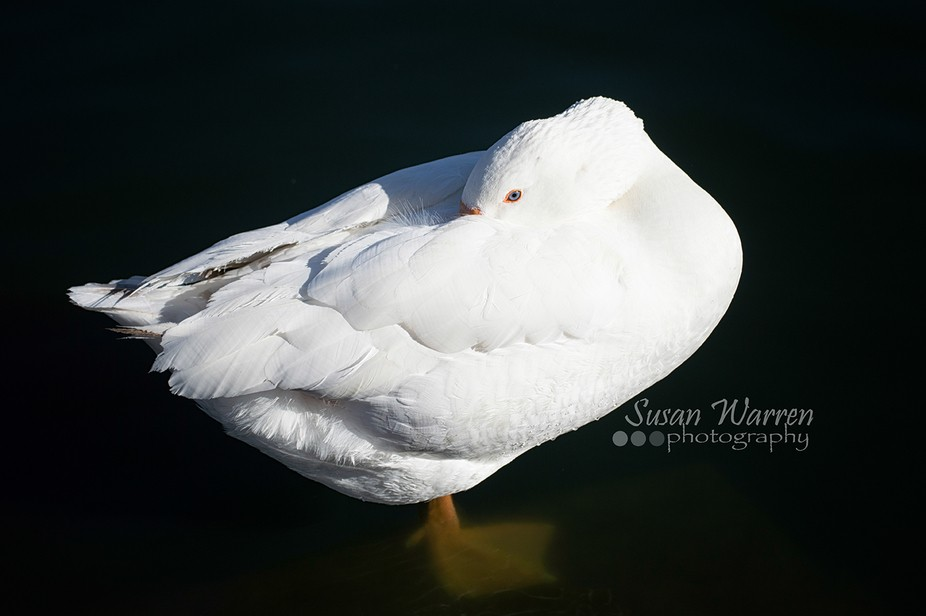 Beautiful white duck posing for me at a local pond.