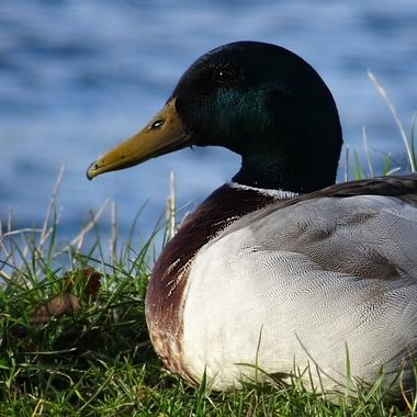 Good looking Duck