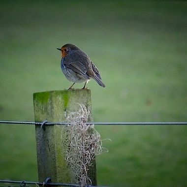 Robin on fence post