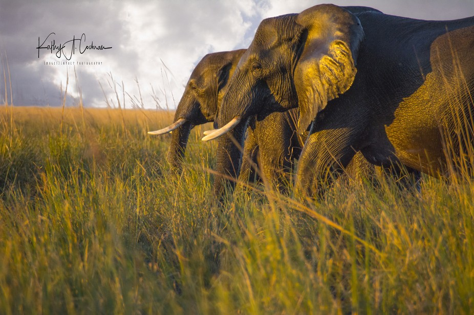 Image captured near sunset on the Chobe River in Botswana just after a herd of elephants crossed ...