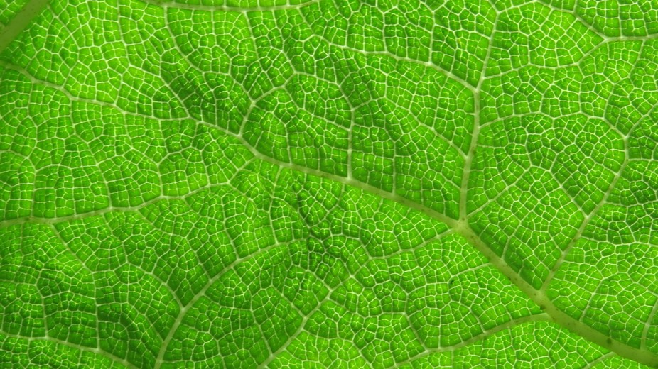 Veins on the large green leaf