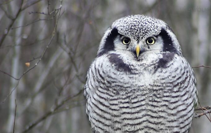 Owl by ellu - Beautiful Owls Photo Contest