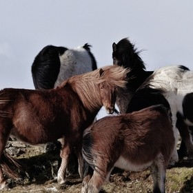 I was hiking at the coast of beautiful Iceland in late winter, when I found myself facing a herd of wild icelandic horses. Living under such roug...