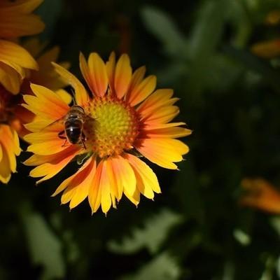 African honey bee macro #africageophoto