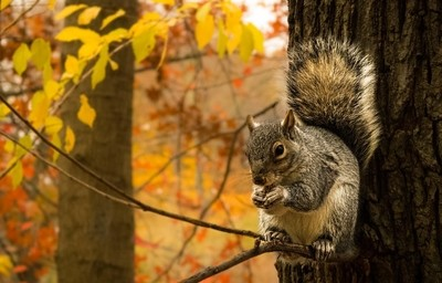 Central Squirrell